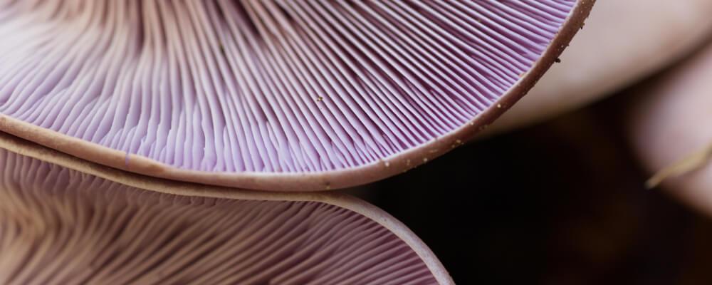 funghi freschi cardinale lepista nuda acquista online fruttaweb