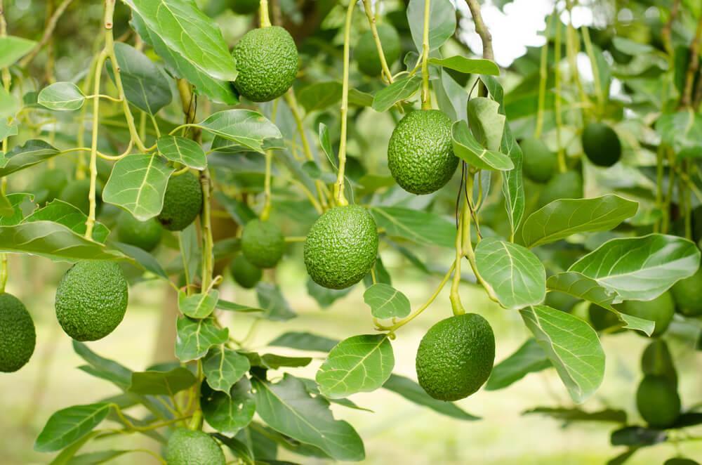 Avocado coltivazione e caratteristiche della pianta for Pianta di avocado