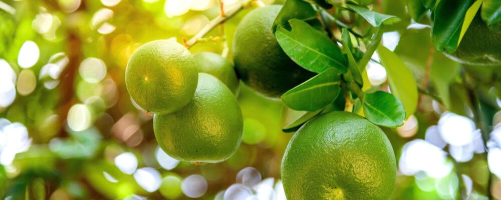 bergamotto fresco acquista online fruttaweb