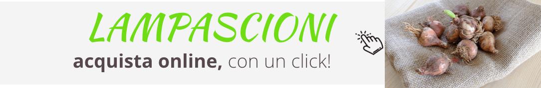 lampascioni_acquista-online