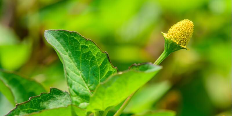 sechuan blossom