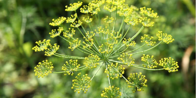 finocchio fiore commestibile