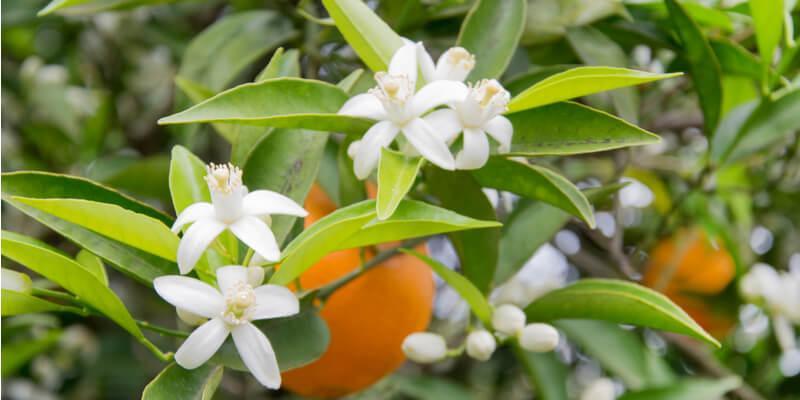 fiori di citrus