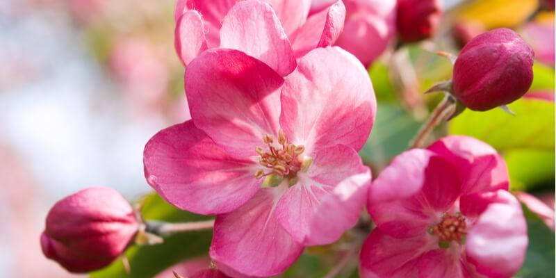 fiori di mela acquista online su fruttaweb.com