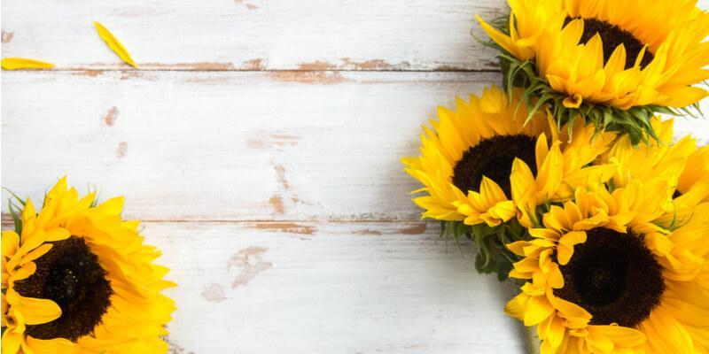 girasole fiori eduli