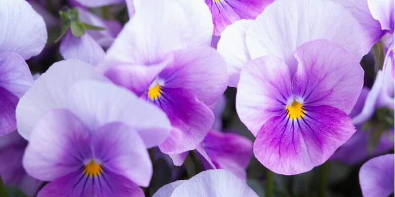 viole acquista online su fruttaweb.com