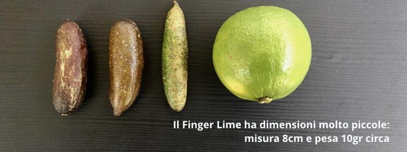 finger lime dimensioni acquista online fruttaweb