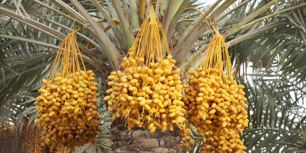 Palme datteri bahri