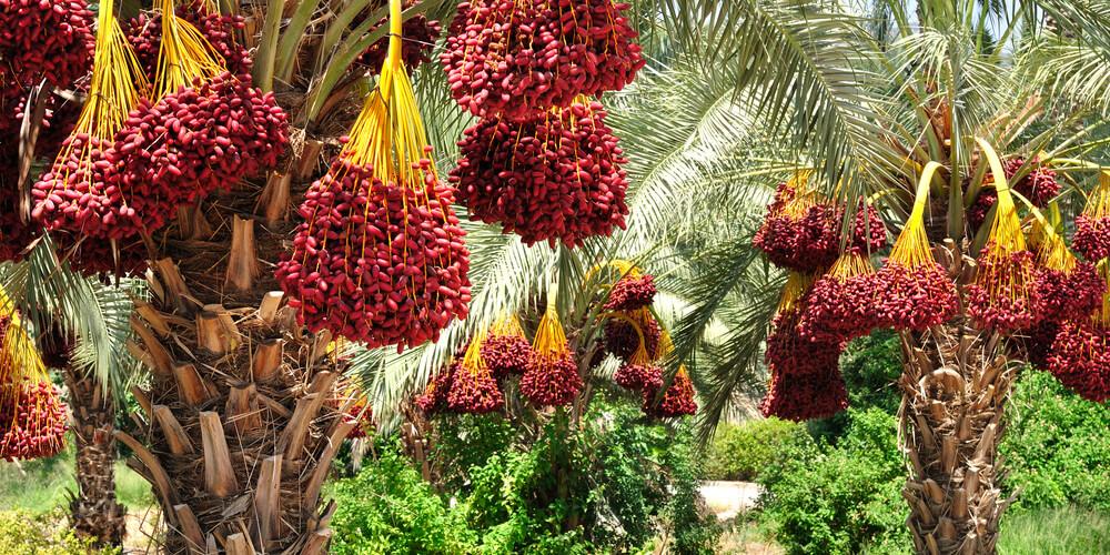 Datteri medjoul palma coltivazione