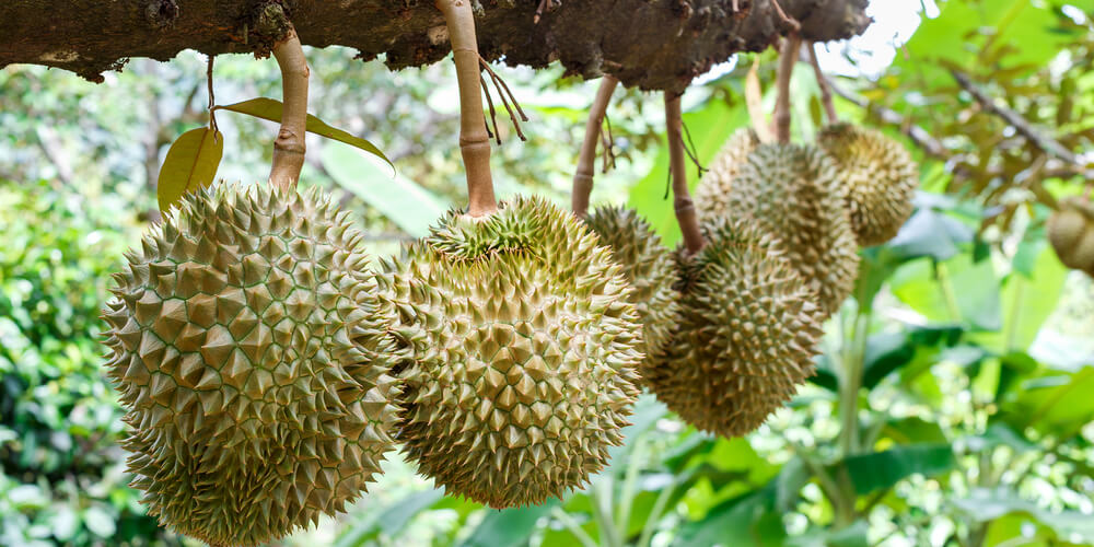 Durian pianta