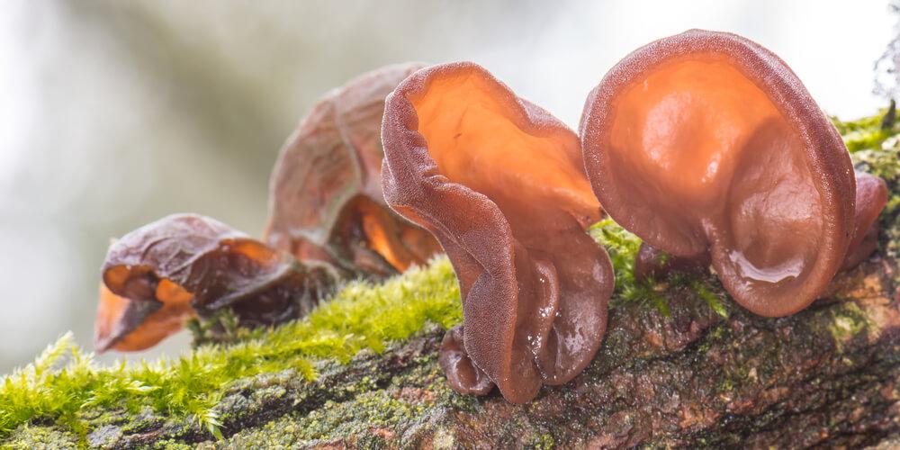 Funghi Orecchie di Giuda freschi