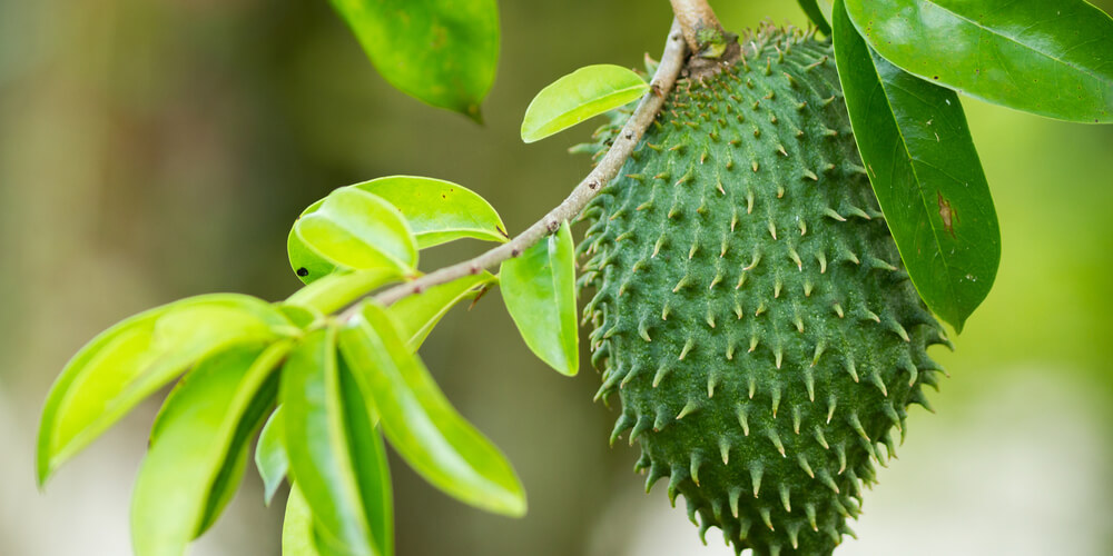 Graviola fresca (guanabana) frutto