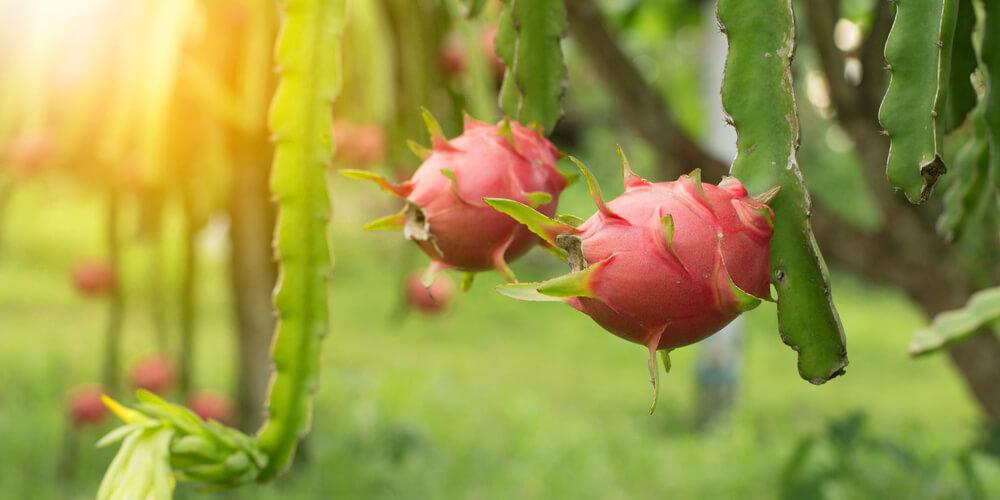 Pitaya rossa coltivazione